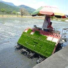 Le repiquage du riz