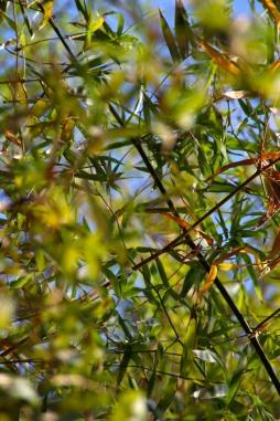 Le grincement des bambous